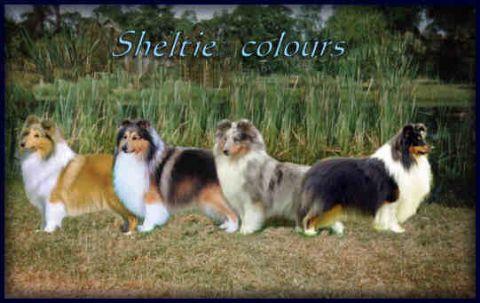 Shetland Sheepdog Breed Standard The Breed Standard